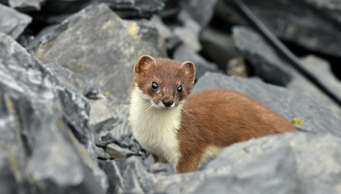 Short-Tailed Weasel standing on rocks