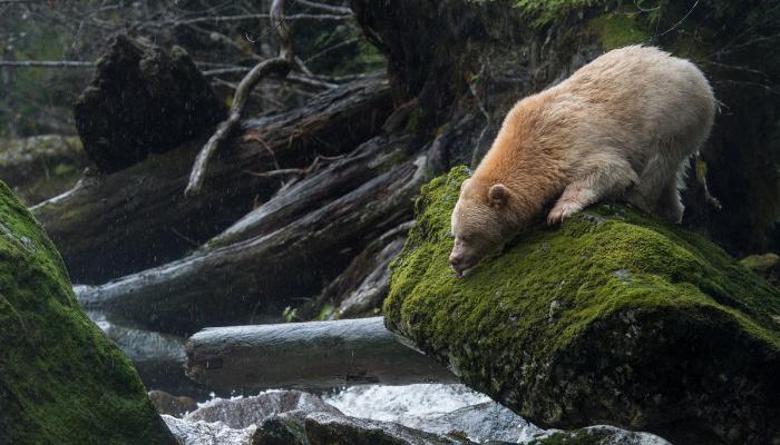 Spirit (Kermode) Bear