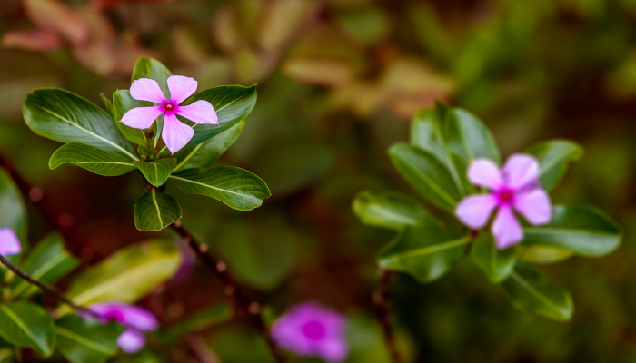 Pink flowers of Madagascar periwinkle