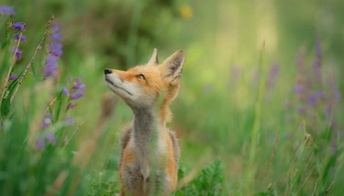 Red fox in wildflower biodiversity