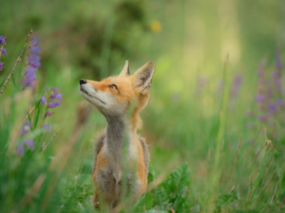 Red fox in purple wildflowers and green grass
