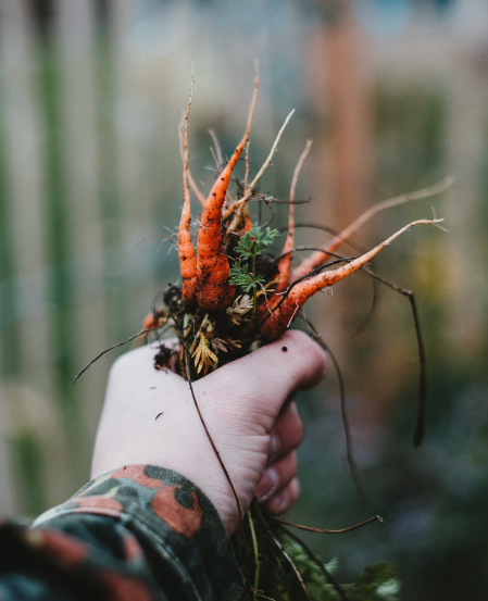 Person hold carrots covered in soil
