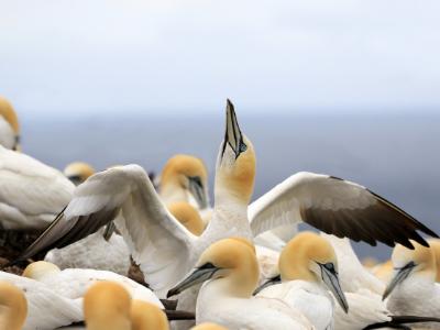 Gannet bird colony