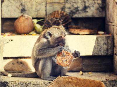 Monkey opening plastic bag with teeth