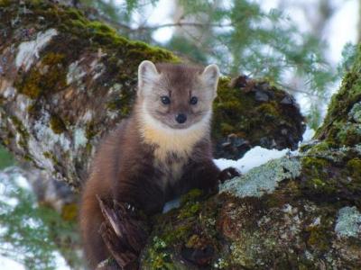 A Newfoundland Pine Marten Martes americana atrata curiously looking around