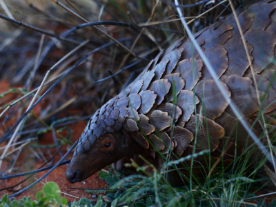 Pangolin with leaves and branches