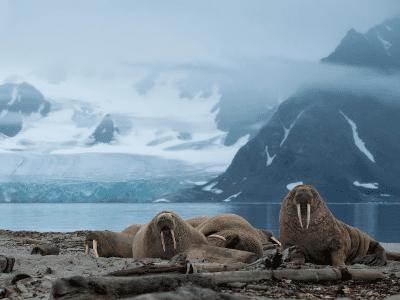 Walruses sitting on the ocean shore