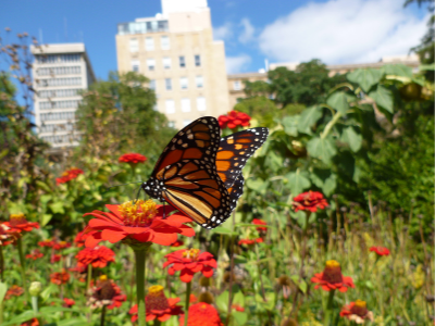 Monarch butterfly pollinating red flower in the city