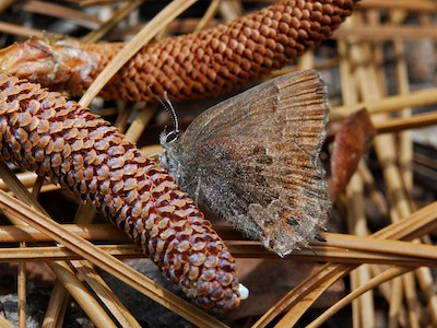 Brown butterfly perched on pinecone