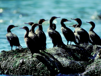 Group of cormorant birds in front of the ocean