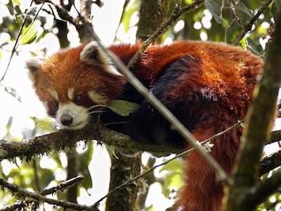 Red panda sitting in trees