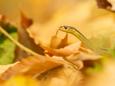 Eastern garter snake in fall leaves