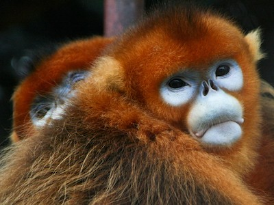 Golden_Snub-nosed_Monkeys