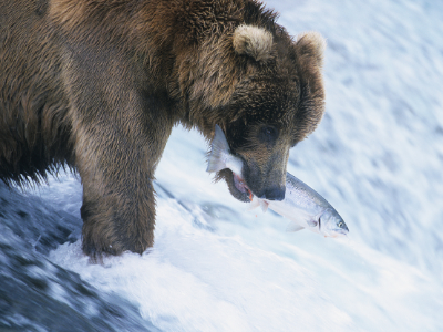 Grizzly bear with fish in mouth in river