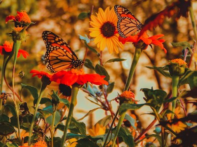 Monarch butterflies surrounded by orange and yellow flowers