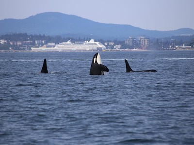 Orcas swimming in ocean in front of BC Ferry