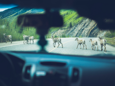 Bighorn sheep crossing highway in mountains