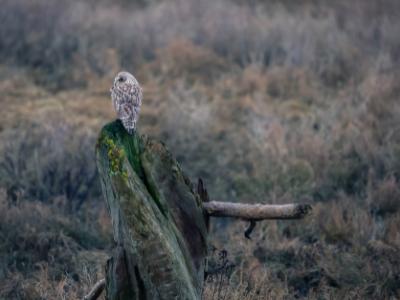 Owl on tree stump in grassland